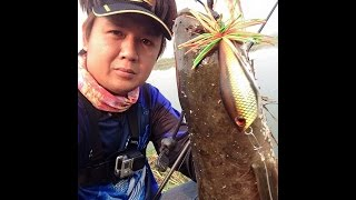 ปลาช่อนใหญ่ ตามกัดกบกระโดด อย่างโหด