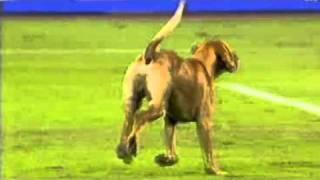 getlinkyoutube.com-Goalkeeper takes dog