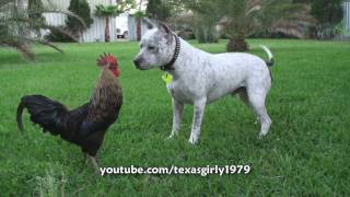 getlinkyoutube.com-Pit Bull Sharky the Bodyguard Dog VS Mr. Rooster ATTACKS. HelensPets.com
