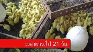 getlinkyoutube.com-ตะลุยฟาร์มเป็ด(Duck farm exclusive in Thailand)