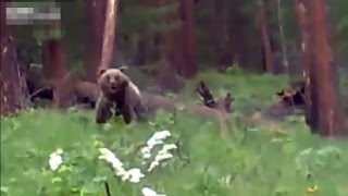 Bear Charging Hunters Stopped Dead In Tracks
