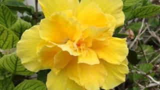 """getlinkyoutube.com-Septiembre mes del Hibiscus en """"Nuestras flores"""""""