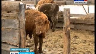 Подворья получателей сельхозгрантов пополнились новорожденными бычками и поросятами