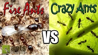 getlinkyoutube.com-Flying Fire Ants vs Cloning Crazy Ants | Amazing Ant Reproduction