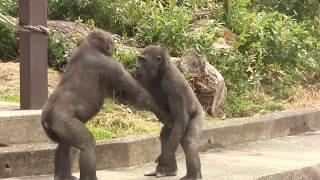 56-AnnieKiyomasa-child-gorilla-play width=
