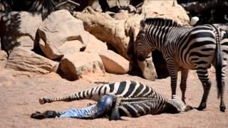 getlinkyoutube.com-Nacimiento de una cebra en Bioparc Valencia
