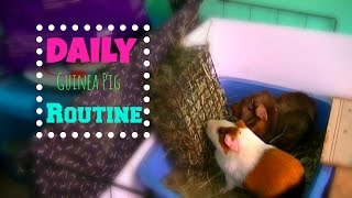 getlinkyoutube.com-Daily Guinea Pig Routine! |GuineaPigFans