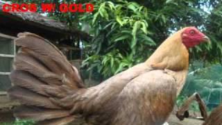 getlinkyoutube.com-Gold Coast Game Farm ( imported henys )