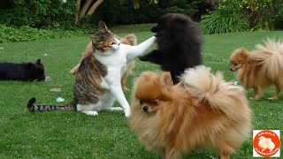 "getlinkyoutube.com-Pomeranian (like Boo) puppies ""attack"" (play with) the cat!!!"