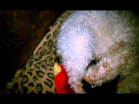 Poodle giving birth to pitbull puppys