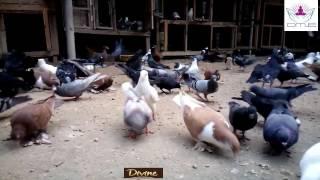 Natural Pigeon garden Farm