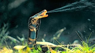 getlinkyoutube.com-Top 10 Most Venomous Snakes in the World