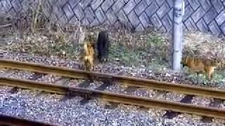 getlinkyoutube.com-猟犬と猪の戦い