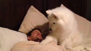 getlinkyoutube.com-Cute dogs waking up owners