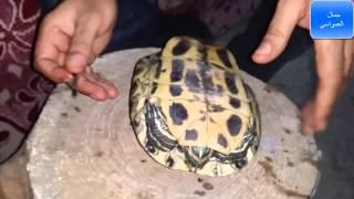 تربية السلاحف المفترسه البرمائيه مع جمال العمواسي