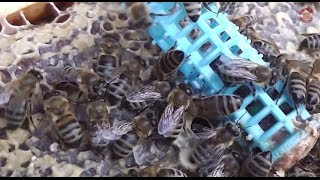 getlinkyoutube.com-Inmultirea familiilor de albine - Indicii, Sfaturi, Sugestii - Apicultura pentru incepatori