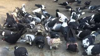 getlinkyoutube.com-kalam bhai pigeon collection delhi