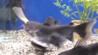 getlinkyoutube.com-Size Doesn't Matter to This Hungry Catfish