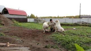getlinkyoutube.com-Я и мои собаки (питомник ТИМЕРТАШ) - сентябрь 2015