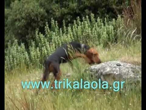 Τρίκαλα ιχνηλάτες αγώνες κυνήγι λαγού Πλάτανος 12-5-12