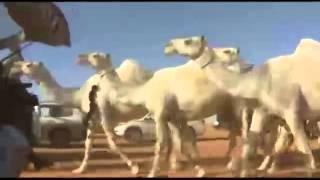 غلابات منقية الشيخ سعد ابن عاتق السبيعي