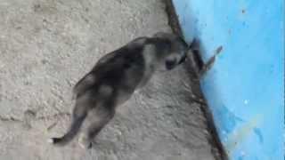 getlinkyoutube.com-Yavru kangalım sinirlenirse :D