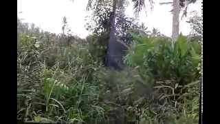 Prenjak Ekor Merah Kena Jaring (Bird Net) Bird Trap