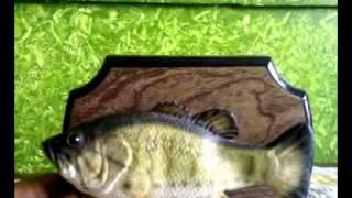 getlinkyoutube.com-Dancing fish السمكة الراقصة