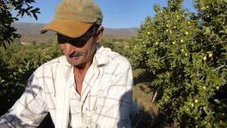 getlinkyoutube.com-Guayaberos de San Tadeo Calvillo (1/7)