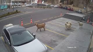 Nevşehir Belediyesi 1 koyun,1 keçi, 3 kuzu tarafından esir alındı