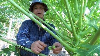 """getlinkyoutube.com-เศรษฐีเกษตร 21/12/57 : """"สวนธารินทร์"""" เศรษฐีมะละกอฮอลแลนด์"""