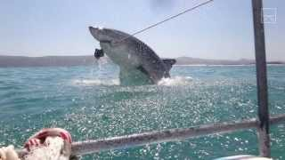getlinkyoutube.com-A Great White Shark Breached & Just Missed Us!