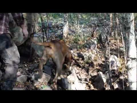 A Rhodesian ridgeback 17 month old first contact with a wild boar
