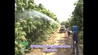 getlinkyoutube.com-การปลูกมะม่วงส่งออกที่ฉะเชิงเทรา.flv