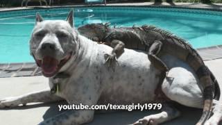getlinkyoutube.com-Hilarious! Iguana LOVES Dog Pit Bull Sharky. Happy MOTHER'S Day! www.HelensPets.com