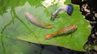 Cross Breeding Guppies:  Neon Blue x Sunset Micariff Strains