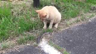 getlinkyoutube.com-ニゴイを釣ってネコが食う!【亀山ダム野良猫ファミリー】fishing cats eat Nigoi