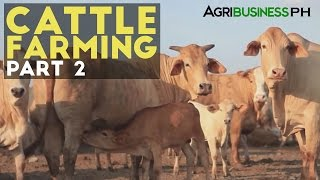 getlinkyoutube.com-Cattle Farming Part 2 : Zero Grazing Cattle Farming | Agribusiness Philippines