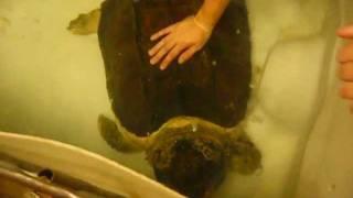 getlinkyoutube.com-Huge fresh water turtles.