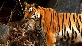 getlinkyoutube.com-Wild tiger cub - for the first time on film - David Attenborough - Tiger Spy in the Jungle - BBC