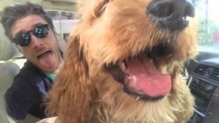 getlinkyoutube.com-Goldendoodle Grows Up