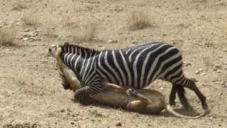 getlinkyoutube.com-Amazing: Lion vs Zebra | Lion kills zebra almost | Lion hunting zebra | Zebra escapes lion killing
