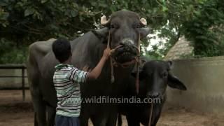 getlinkyoutube.com-Yograj - Father of a bull worth Rs 9 crore