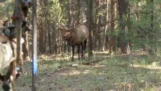 getlinkyoutube.com-Bowhunting Elk: Monster Bull at 10 Steps