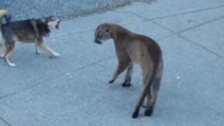getlinkyoutube.com-Голодная пума против храбрых собак