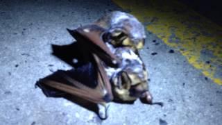 Bats having sex in parking lot, part 1