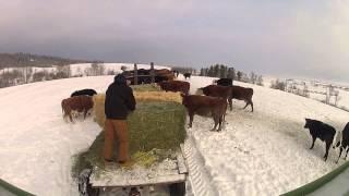 getlinkyoutube.com-Feeding Beef Cattle GoPro