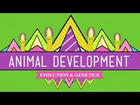 Animal Development: We're Just Tubes - CrashCourse Biology #16