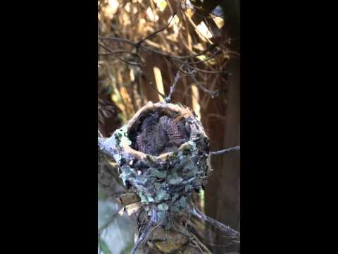Baby Humming Bird Pooping