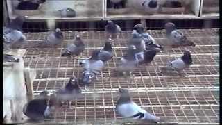 getlinkyoutube.com-Strains of racing pigeons Natural Antwerpen, Belgium